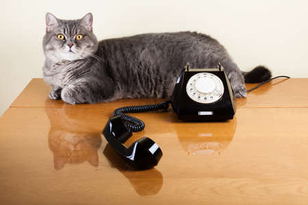 British shorthair cat with old black telephone on table Stock Photo - 17627790