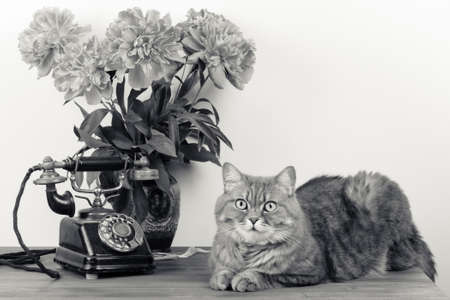 Cat, vintage old telephone, flowers in vase on table. Sepia photo Stock Photo - 20151764