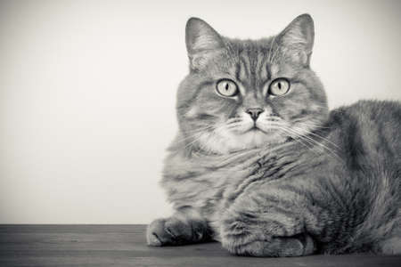 British Cat laying on table portrait photo