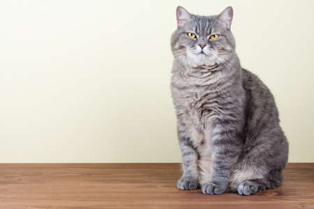 British Cat sitting on table portrait photo
