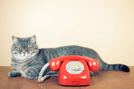 Retro rotary telephone and big cat on table photo