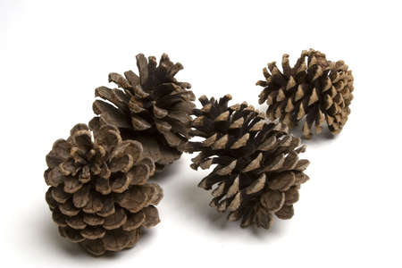 Isolated large pine cones