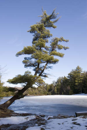Scenic winter picture of a pine tree leaning over a frozen lake on a sunny day.