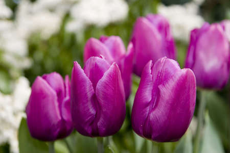 Purple tulips with nice bokeh background