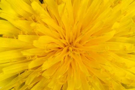 A macro shot of yellow dandelion flower. Great for backgrounds. Stok Fotoğraf