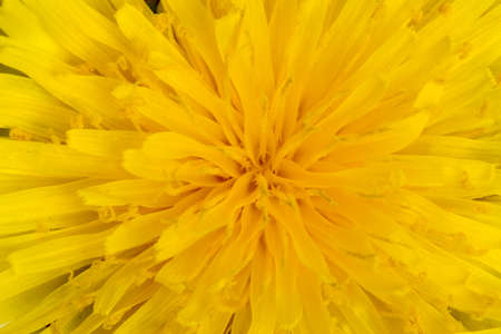 A macro shot of yellow dandelion flower. Great for backgrounds. Stock Photo