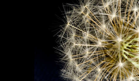 Extreme macro of common dandelion fluffy seeds against black background with room for text on the left