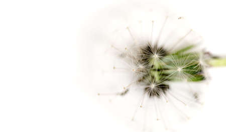 Macro of dandelions head full of white seeds against white background with room for text on the left.
