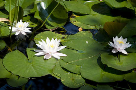 Beautiful white water lilies in the shade
