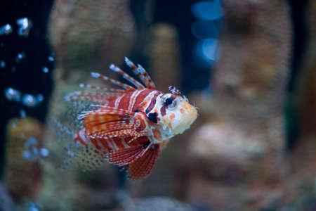 Colorful Lionfish