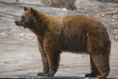 This magnificent young American Black Bear, actually has brown coat. Pictured here in a classic