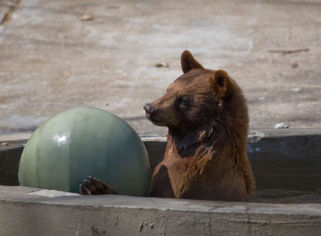 American black bear playing in a pool with giant green ball