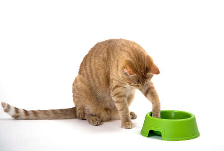 Young orange tabby house cat with its paw in the green pet bowl fishing out or touch dry food. Isolated against white background