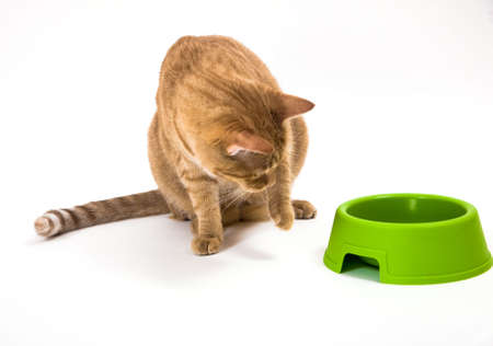 Young orange tabby house cat looking suspiciously at the green food bowl. Paw raised in the air as if cat is a bit afraid of whats inside. Isolated against white background.