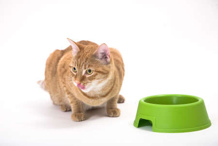 Young orange tabby house cat sitting low near empty bowl and leaking it�s nose after a delicious meal. Isolated against white background.