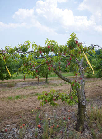 Peach tree with ripe fruits.