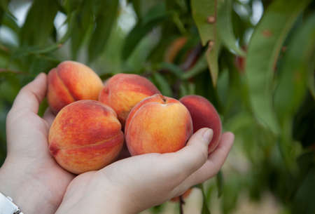 Just picked ripe peaches in the palms of the hands with green peach tree in the background Stock Photo
