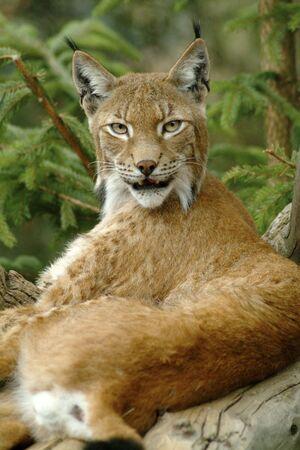 Europaean lynx