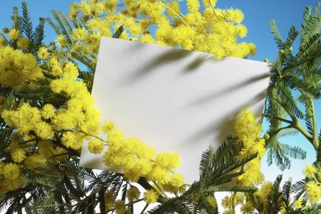 mimosa flowers with blank card photo