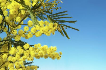 mimosa flowers with space for copy