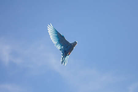 dove flying: blue dove flying in the blue sky flap