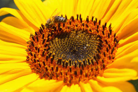 Close up of bee on yellow sunflower photo