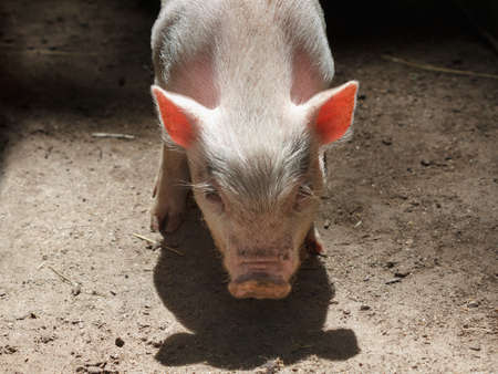 full face: Little pig portrait.He is looking at the viewer full face