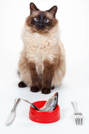 Humor Cute Cross-eyed Balinese cat with blue eyes are ready to eat tasty fish on a plate with a knife and fork. Isolate on a white background