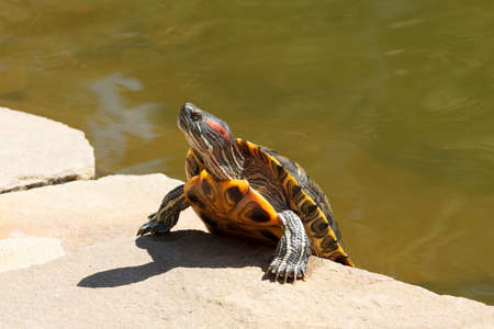 ear protection: red-eared sliders, climbs out of the water, sunny day