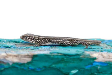 lacertidae: lizard on an old wooden surface without a tail Stock Photo