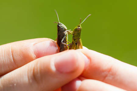 grasshoppers: boy holding two grasshoppers in the summer sunny day Stock Photo