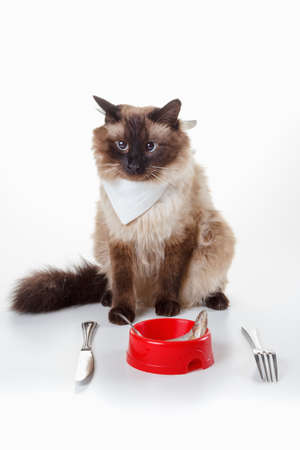 eating dinner: Cat with blue eyes are ready to eat tasty fish on a plate with a knife and fork. Humor Cute Cross-eyed Balinese