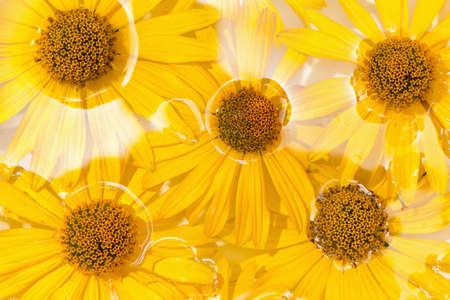 p�querette: fleur marguerite jaune, fond des fleurs sous l'eau Banque d'images