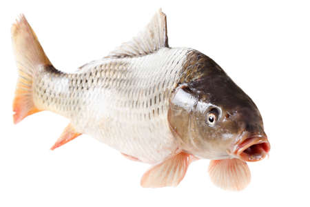 cypriniformes: Common carp fish with open mouth isolated on white background