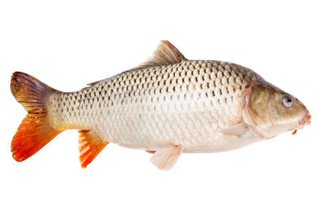 cypriniformes: Common carp fish, half-face, isolated on white background Stock Photo
