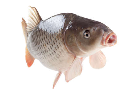 cypriniformes: Swimming common carp fish with open mouth isolated on white background Stock Photo