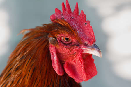 red hen: Head of red cock with a red comb close-up in profile