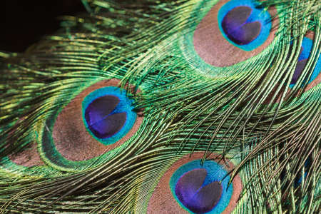 peacock: Exotic multicolored peacock feather spotted close up Stock Photo