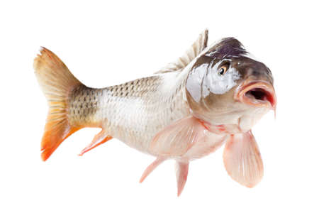 alive: Alive carp fish with open mouth. Isolated on white background