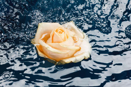 roses and blood: Beautiful fresh roses with drops on the petals and reflection, floating in a blue water background