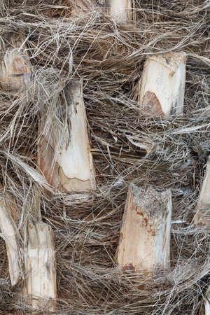 bark palm tree: Texture of the bark of a palm tree, close-up. Stock Photo