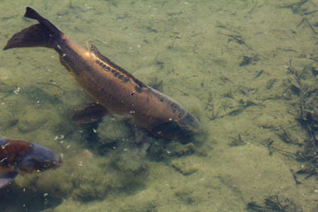 fish breeding: Fish swimming in the pond with muddy bottoms, closeup Stock Photo