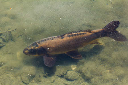 bottoms: Fish swimming in the pond with muddy bottoms, closeup Stock Photo