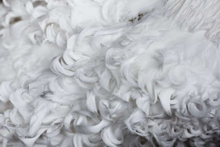 weightless: White curly feathers texture for background. Closeup
