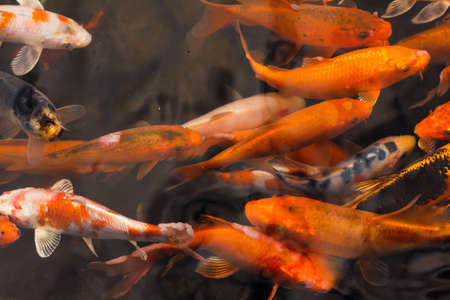 japanese koi: Colorful goldfish Japanese koi carp swimming in the pond