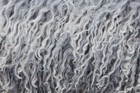 ovine: Fluffy curly softness gray wool texture closeup
