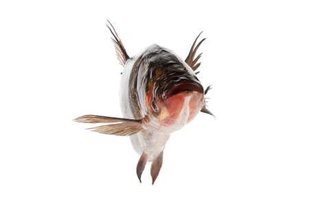 cypriniformes: Fish silver carp floats, close-up isolated on white background Stock Photo