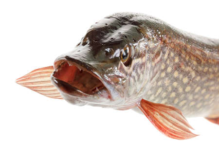 gullet: Pike fish isolated on a white background