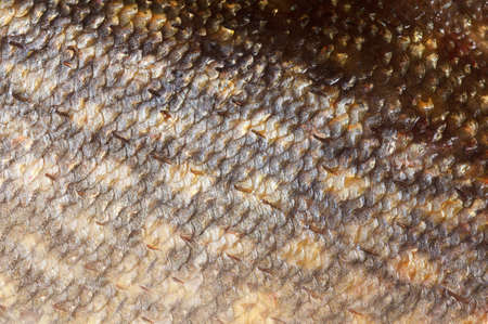 pickerel: Pike fish shining scales background texture macro