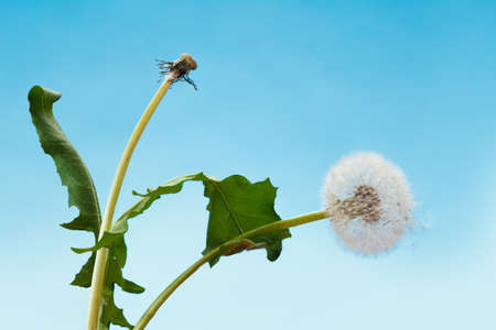 leaned: Couple of loversdandelions leaned into each others embrace.. The concept of love, dance and romance